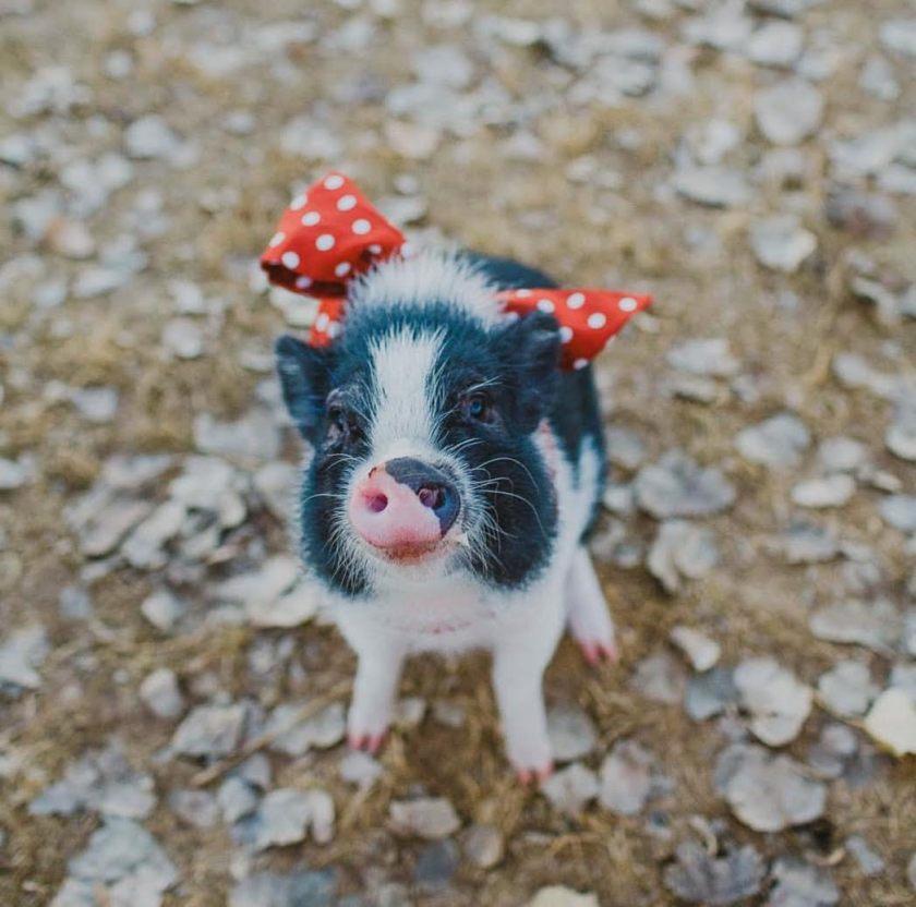 Meet Ellie Peony The Pig